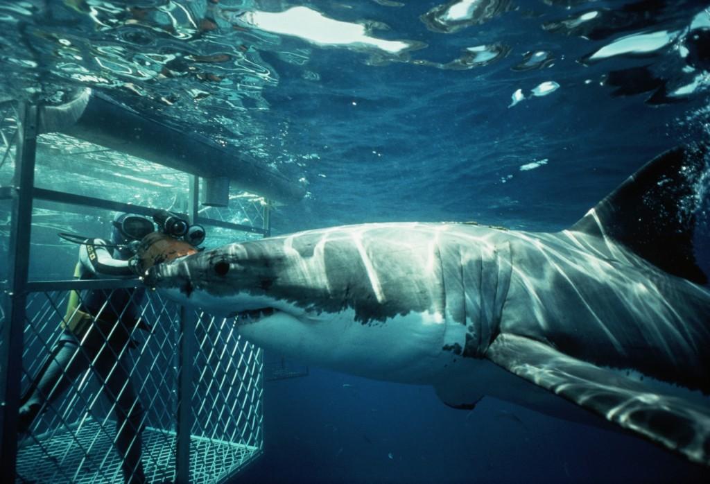 Diver in Cage Observing Shark